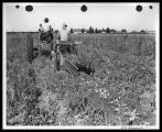 Harvesting potatoes at  R.(?) Jacobsen's farm