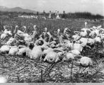 """At the hatching grounds for young pelicans on Bird Islands, Lower Klamath Lake.""..."