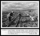 Settlement Program - Migrant agricultural workers sacking potatoes on the farm of Jesse Prosser,...
